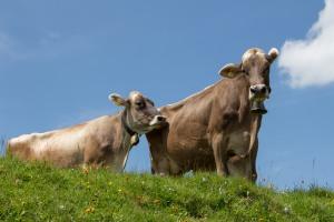 De Milka koe
