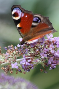 Vlinder | Struik