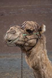 Kamelen op Lanzarote