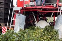 Hier gaat de machine over de struiken heen om de bessen eraf te halen