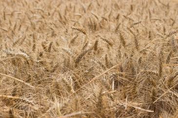 tussen het graan