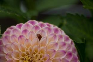 Ook lieveheersbeestjes vinden hun weg in de prachtige bloem van deze dahlia