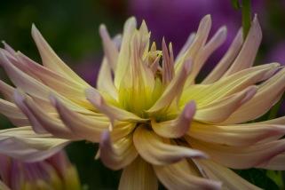 Een bijzonder soort in zijn zeldzaamheid, door de enkele laag bloemen