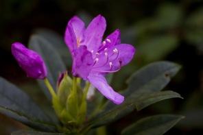 Rodondendron in bloei