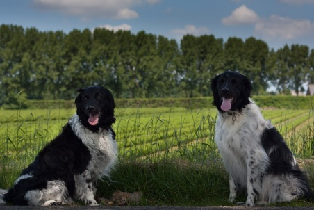 week 21, Friese stabij's in het Zeeuwse landschap.