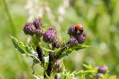 Lieveheersbeestje op een distel